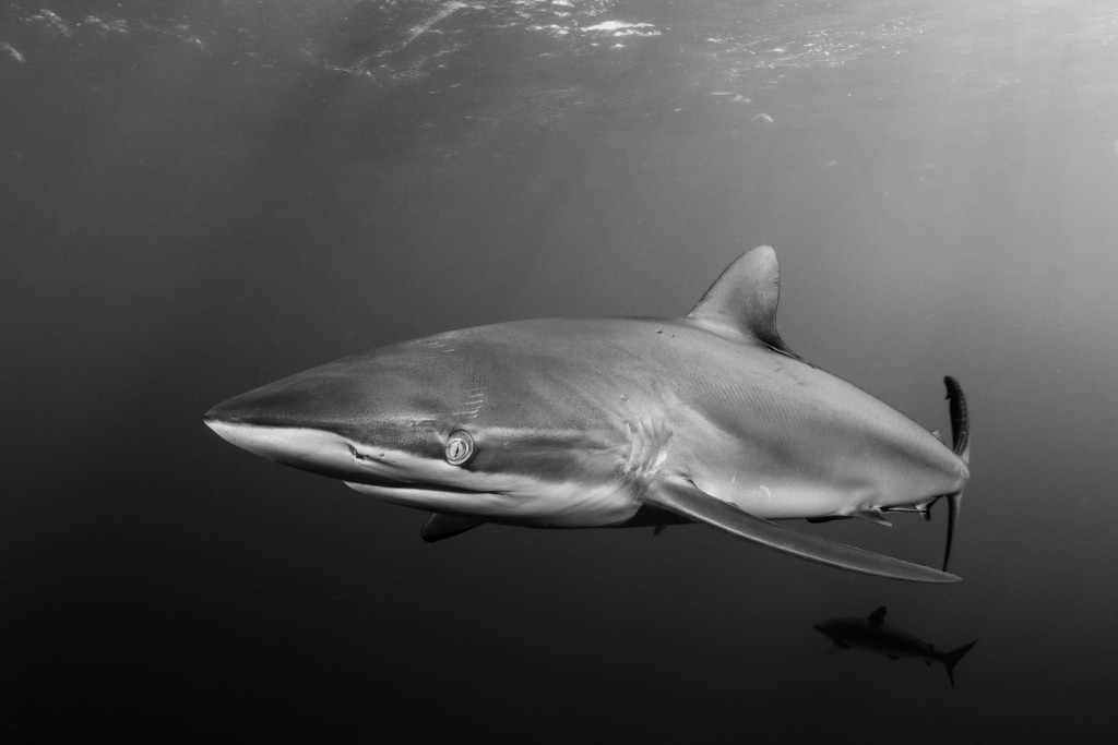 Runner up November 2013 & best shark image, uwp.com