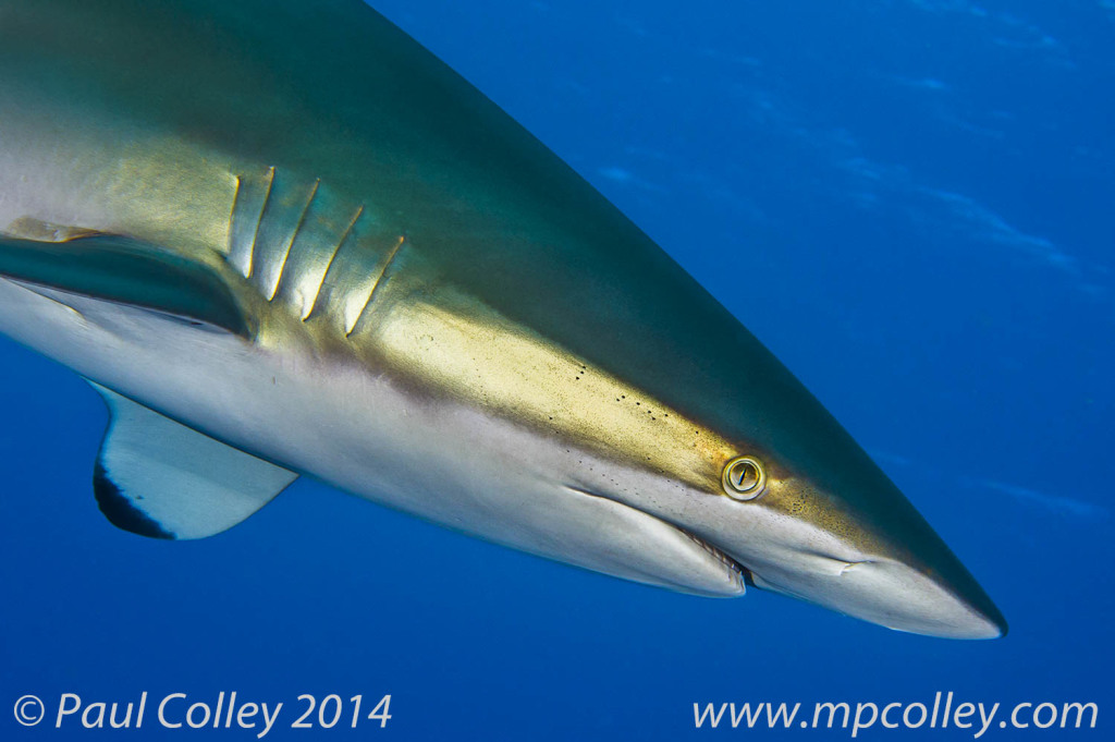 Silky shark in the Gardens of the Queen