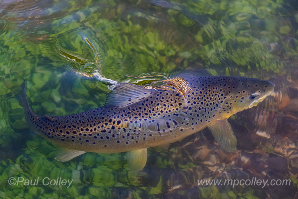The enigmatic trout