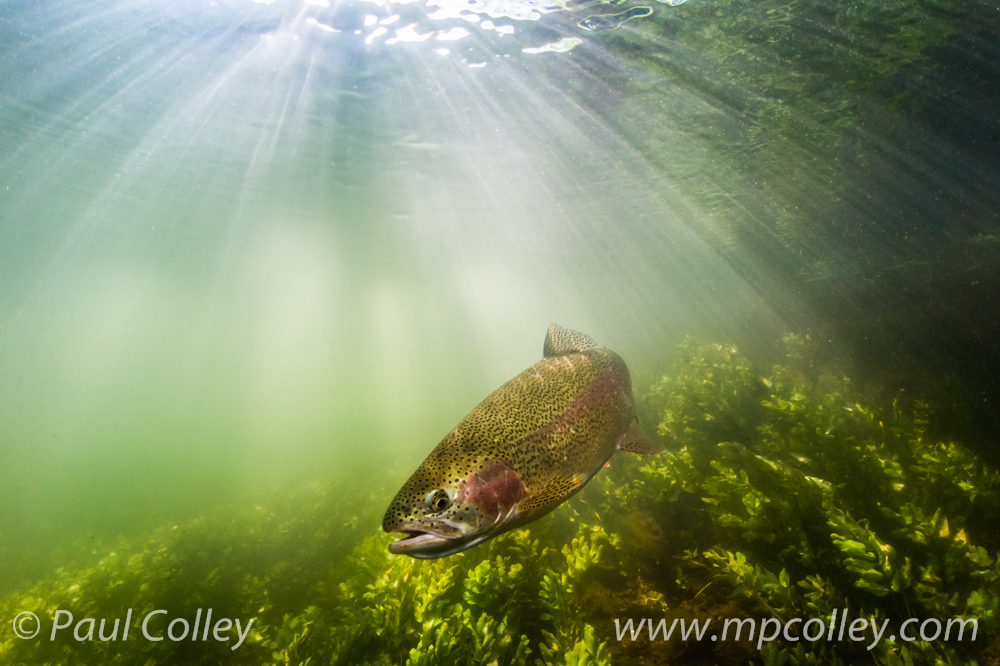 Rainbow Trout sunburst