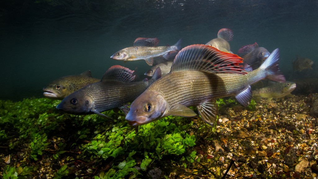 the freshwater river project: trout and grayling on the river Anton in Hampshire