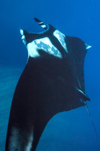Giant Manta Ray - I need a wider lens!